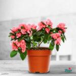 Azalee roz Plante de apartament
