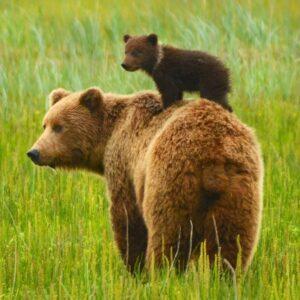 Bear Watching Aventura pe Urmele Ursilor pentru 2
